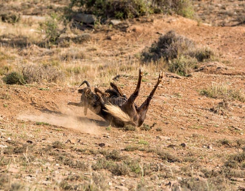 Czarny Wildebeest pyłu skąpanie fotografia stock