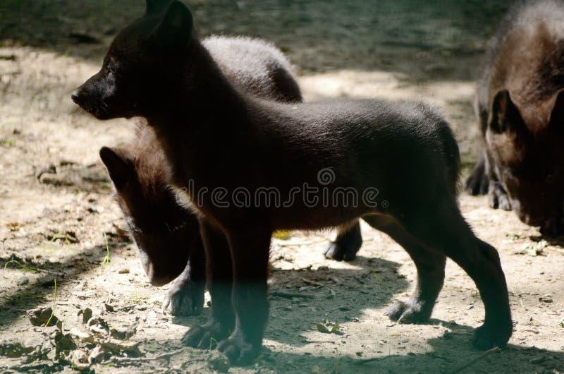 czarny wilk Canis Lupus szczeniak Dzikie zwierzę w zoo zdjęcia stock