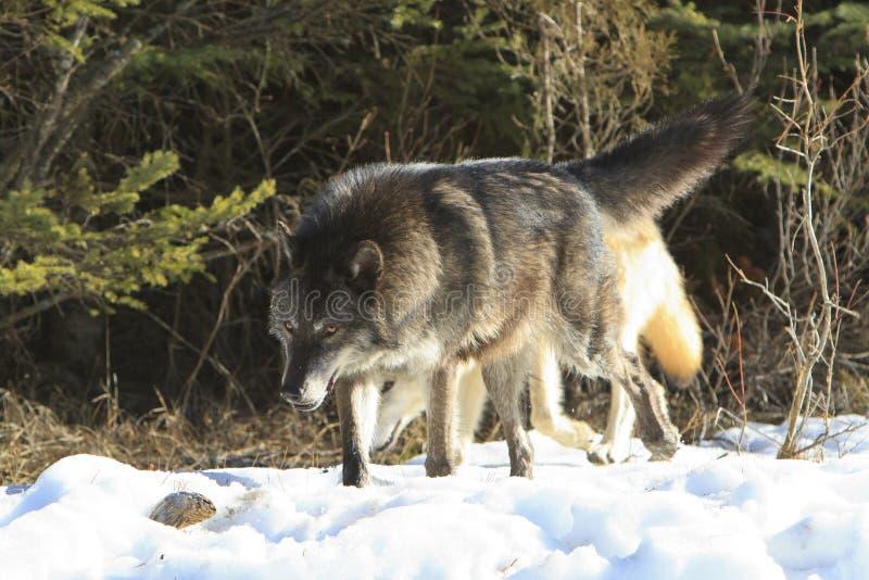 Czarny wilk na polowaniu fotografia royalty free