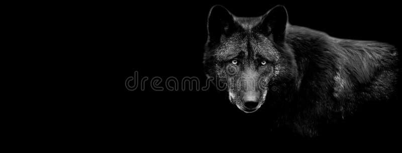 Czarny wilk z czarnym tłem zdjęcia stock