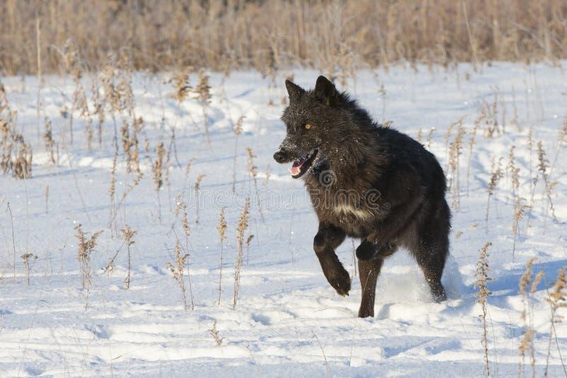 Czarny wilk z jaskrawymi oczami obraz stock