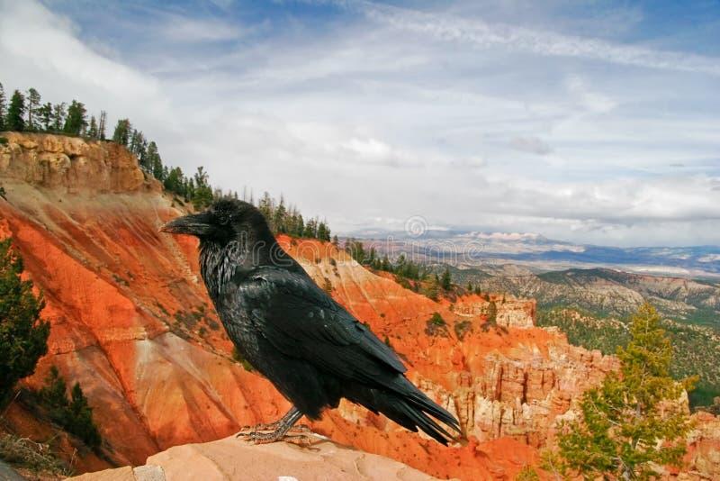 czarny wrona zdjęcia royalty free