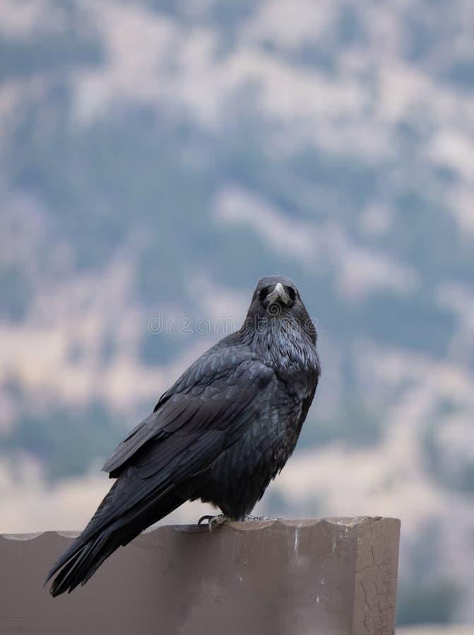 Czarny Wroni obsiadanie na Drewniany Szyldowym Patrzejący kamerę obraz royalty free