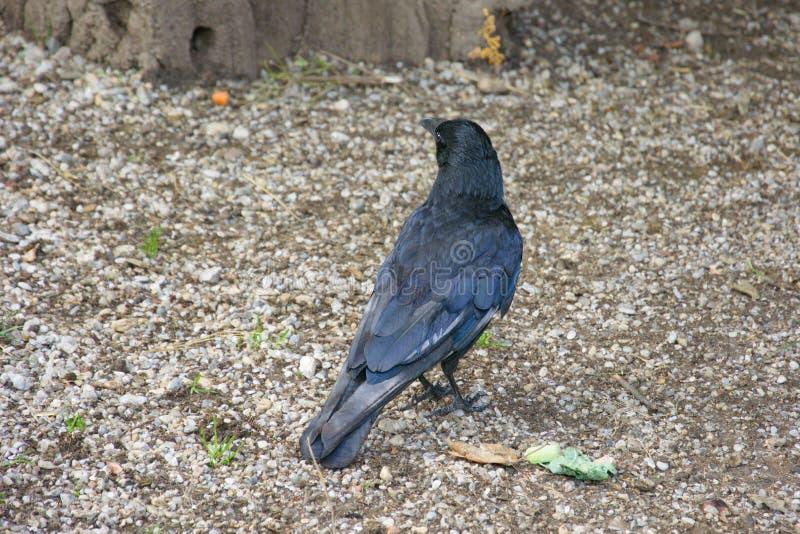 Czarny wroni ptasi kruka zwierzę zdjęcia royalty free