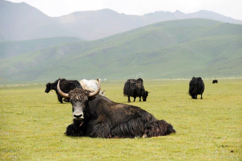 Czarny yak obraz stock