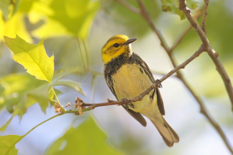 czarny zielony warbler fotografia stock