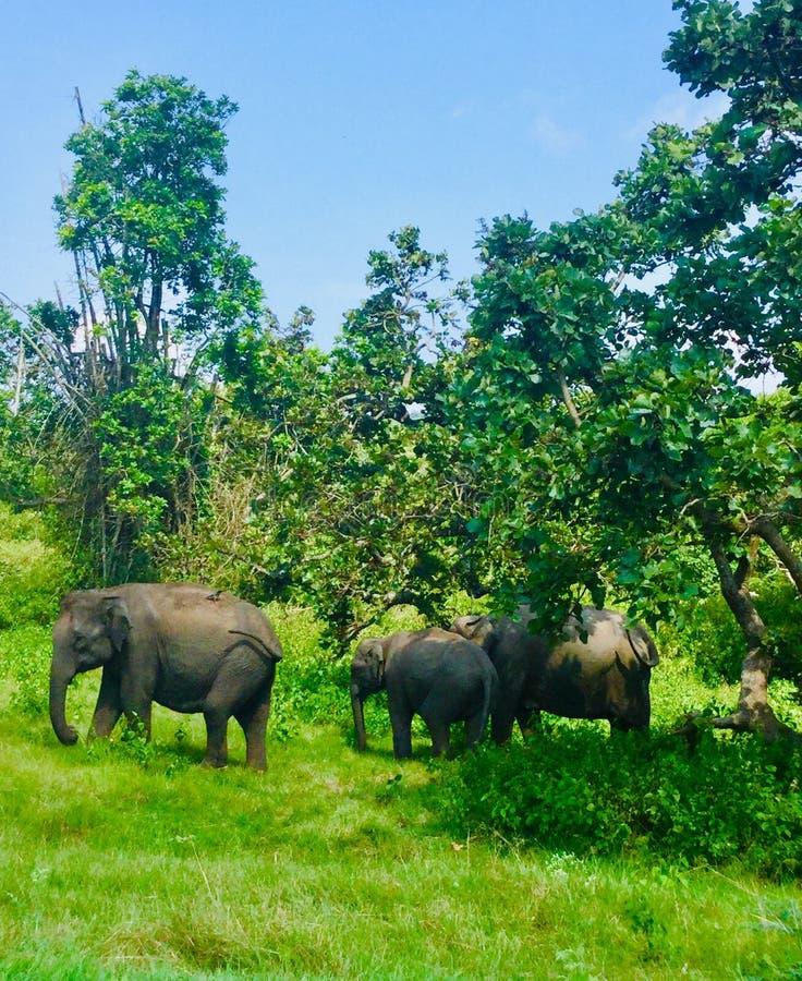 Czarowni słonie India obrazy stock