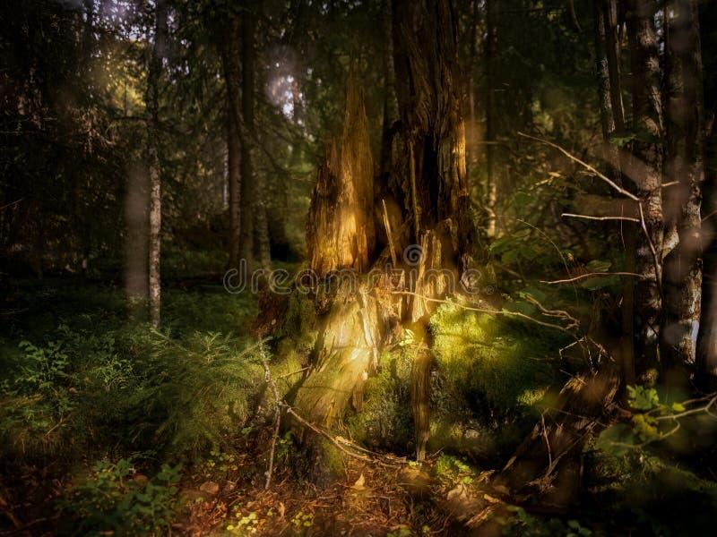Czary las w Szwecja fotografia stock
