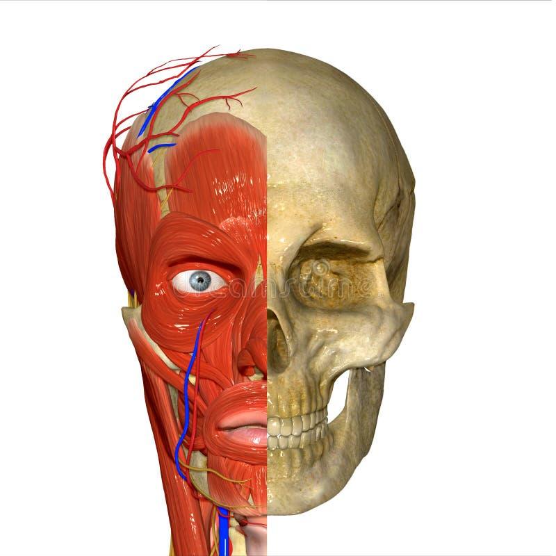 czaszka ilustracji