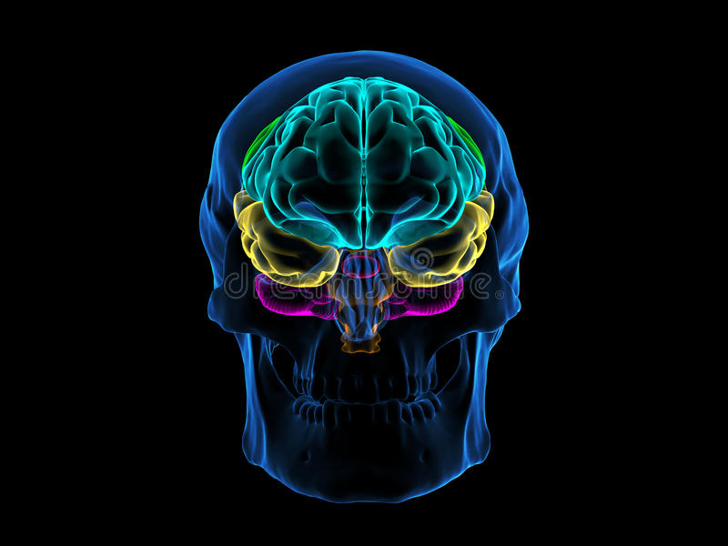 Czaszka mózg radiologiczny przód zdjęcie stock