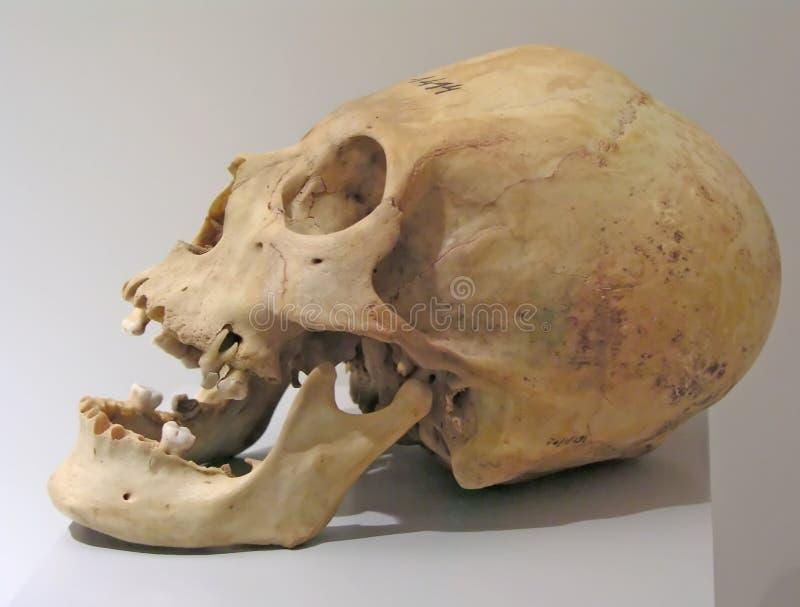 czaszka prehistoryczna zdjęcia royalty free