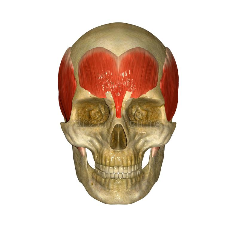 Czaszka z frontalis mięśniami (czoło) ilustracja wektor