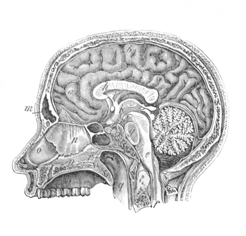 czaszka z ludzkim mózgiem w sekcji bliższy widok w starej książce The Human Body, przez K Bock, 1870, Sankt Petersburg ilustracji