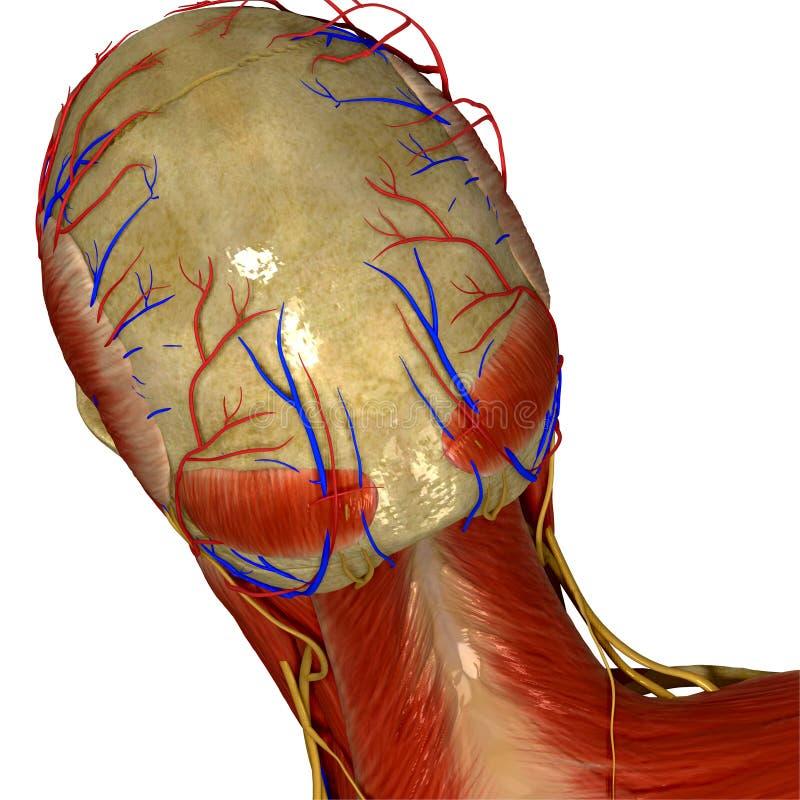Czaszka z mięśniami i nerwy popieramy widok ilustracja wektor