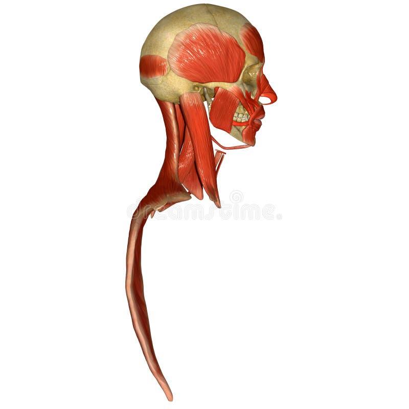 Czaszka z twarzowych mięśni bocznym widokiem ilustracja wektor