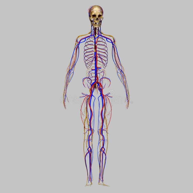 Czaszka z układem nerwowym royalty ilustracja