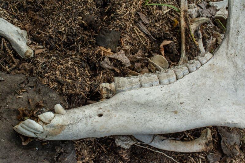 Czaszka z zębami zwierzę przy zaniechanym starym bydła gospodarstwem rolnym w przegranej wiosce obraz royalty free