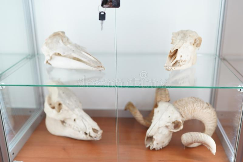 czaszka zwierz?t biologii anatomii poj?cie medyczny muzeum zdjęcie stock