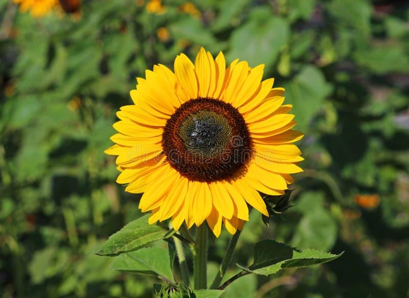 Cześć światło słoneczne - żółty słonecznik w polu obraz stock