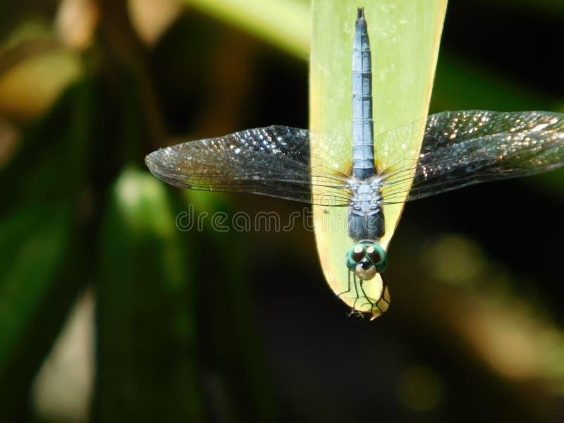 Cześć Dragonfly zdjęcie stock