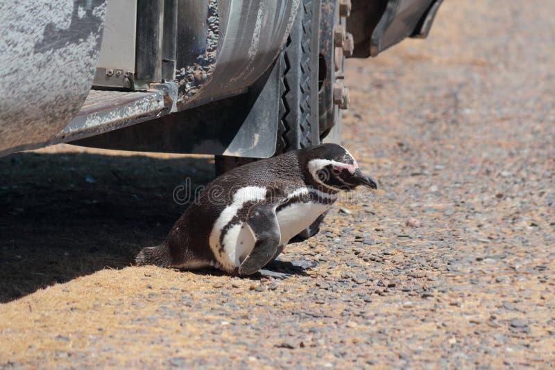 Cześć, pingwin fotografia royalty free