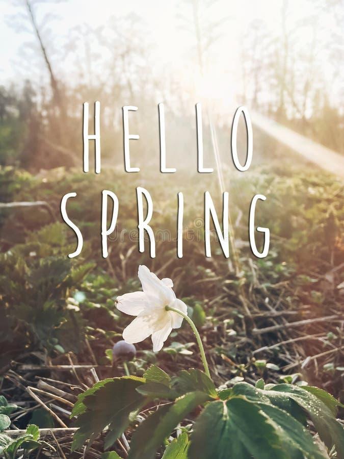 Cześć wiosna teksta znak na pięknego kwitnącego anemonu pierwszy sprin zdjęcia stock