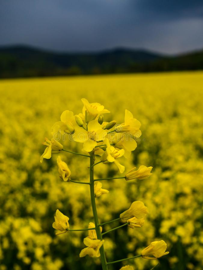 Czech countryside yellow rape field. Agriculture planting rural rapeseed scenery harvest rapeoil stock photography