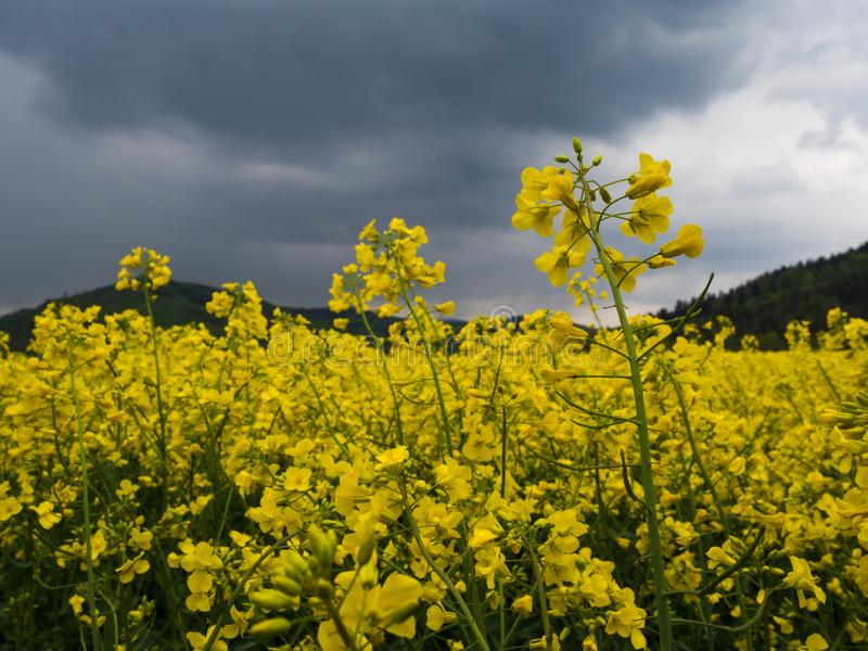 Yellow rape field agriculture planting rural rapeseed scenery harvest rapeoil. Czech countryside yellow rape seed oil field country biofuel biodiesel plant royalty free stock photography