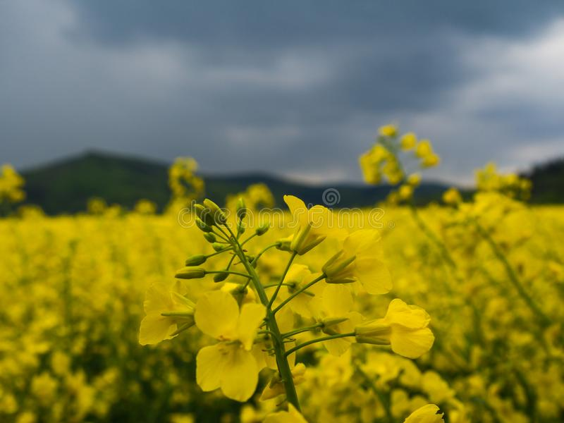 Czech countryside yellow rape field agriculture planting rural rapeseed scenery harvest rapeoil. Czech countryside yellow rape seed oil field country biofuel stock images