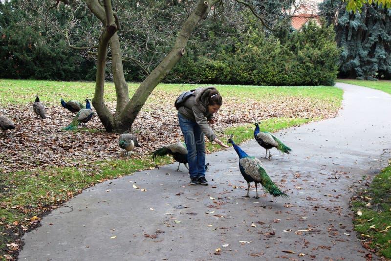 Czech, Praga: Dziewczyna karmi pawie na śladzie w parka ` Voyanovy ogródów ` zdjęcie royalty free