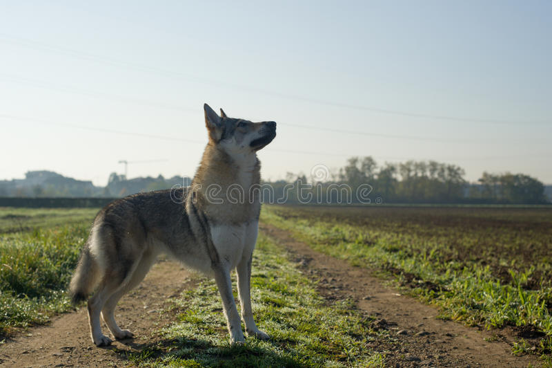Czechoslovakian Wolfdog royalty free stock photos