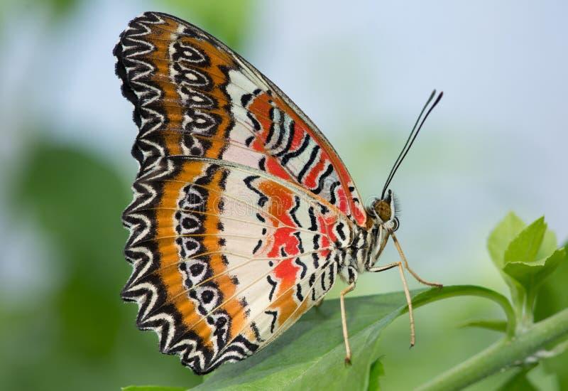 Czekać jak motyl obrazy royalty free
