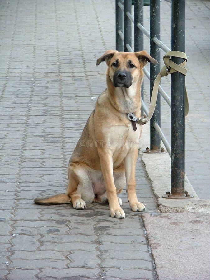 Download Czekaj psa zdjęcie stock. Obraz złożonej z kelnery, zjeżony - 129648