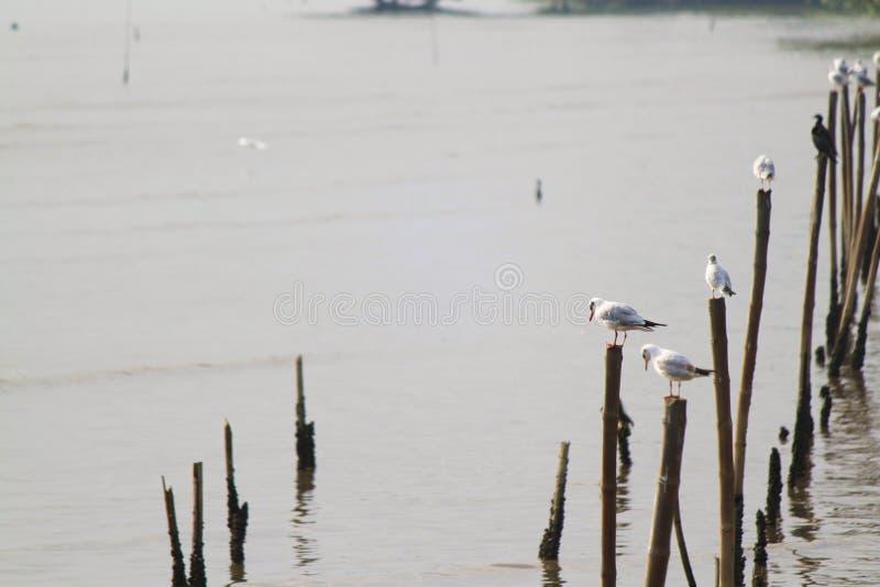 Czekania jedzenie od grupy białego seagull ostrości pierwszoplanowa miękka pozycja na długim kiju obraz royalty free