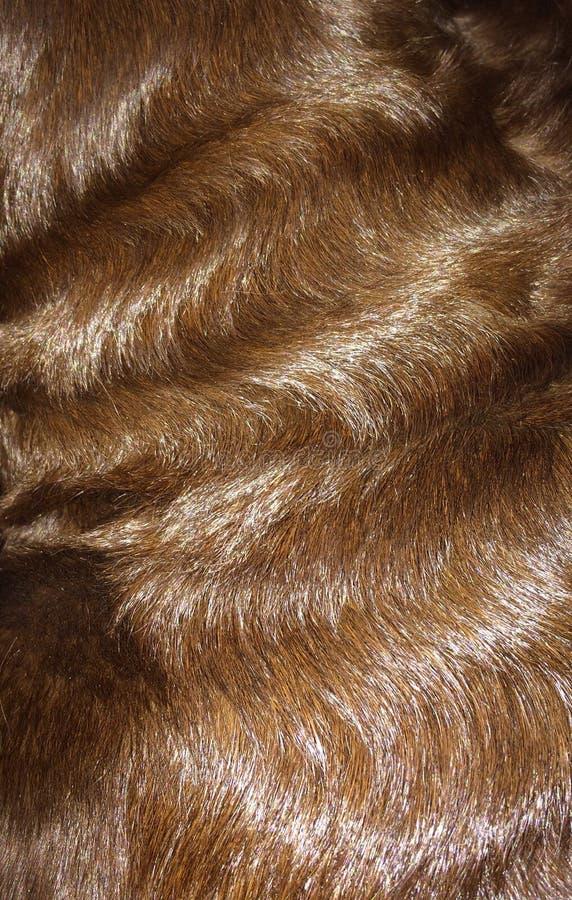 Czekoladowego labradora Kędzierzawy futerko zdjęcia stock