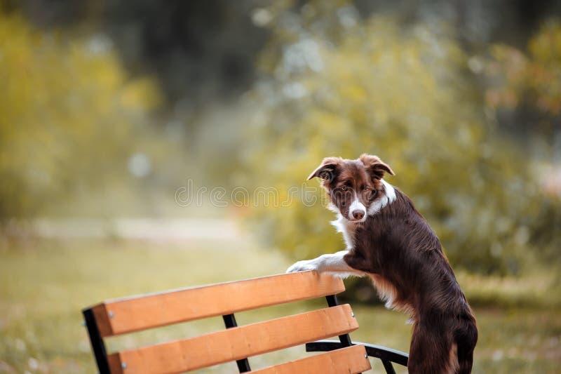 Czekoladowi Border collie stojaki na ławce zdjęcie royalty free