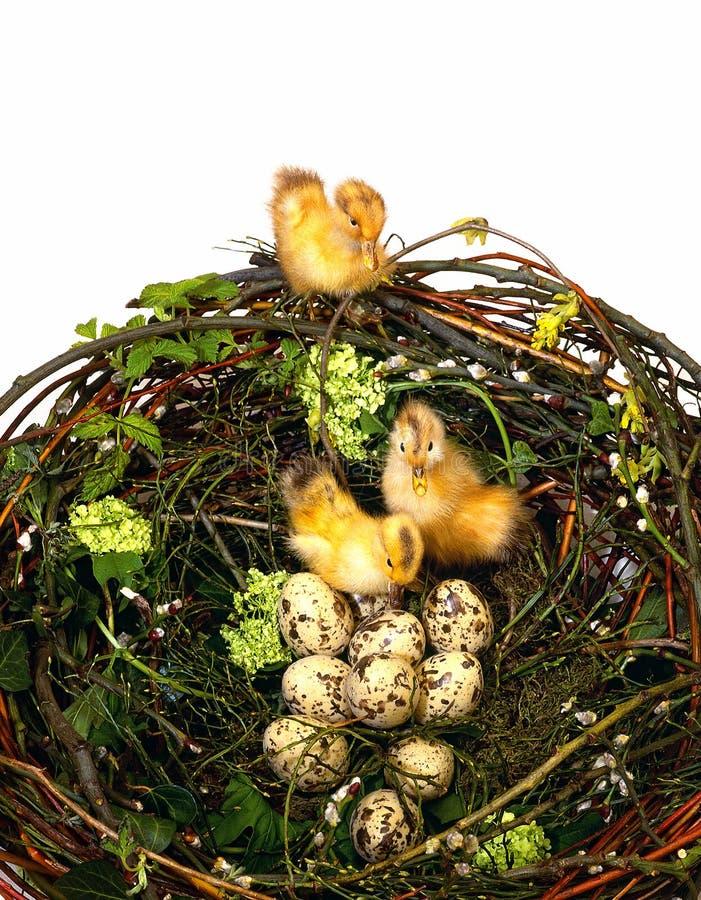 Czekoladowi jajka i smalls nurkują inside zdjęcie royalty free