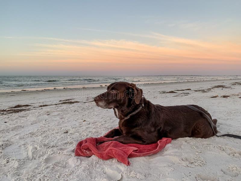 Czekoladowy Labrador retriever kłaść na białym piasku plażowym i obserwuje naturę przy wschód słońca wzdłuż zatoki meksykańskiej obraz royalty free