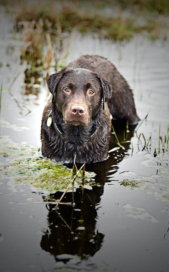 czekoladowy labradora pozyci strumień mokry obrazy stock