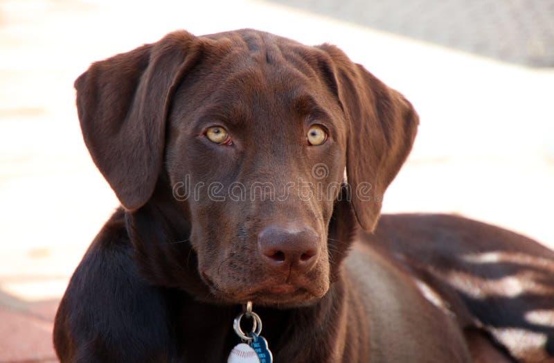 Czekoladowy labradora szczeniak fotografia stock