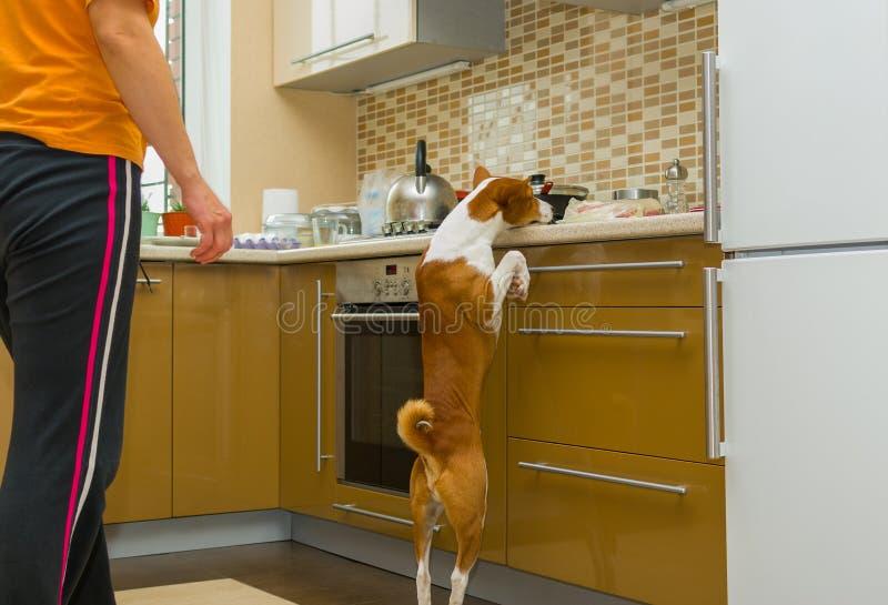 Czelny basenji pies desperacko kraść mięso w kuchni fotografia royalty free
