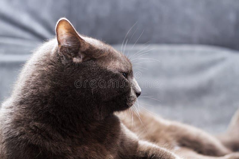 Czelny popielaty manchkin lying on the beach na mistrzowskim łóżku i looing przy kamerą Popielaty kot na odpoczynku zdjęcie stock