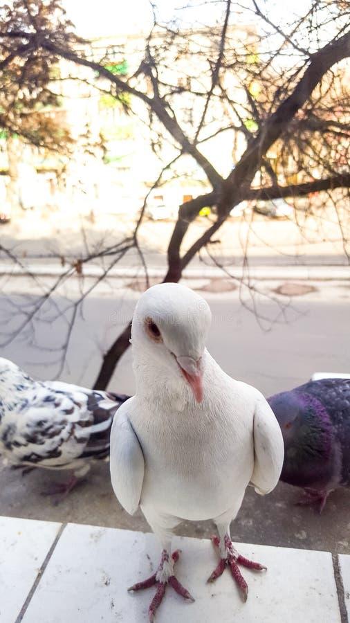 Czemu robisz tutaj ty? Ciekawy gołębi zerkanie przez okno zdjęcie stock