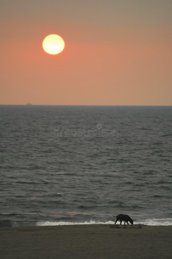 Czerń, bardzo cienki przybłąkany pies chodzi na plaży, patrzeje, sfrustowanym i głodnym Ja ` s iść być zmierzchem przy ten czasem fotografia royalty free
