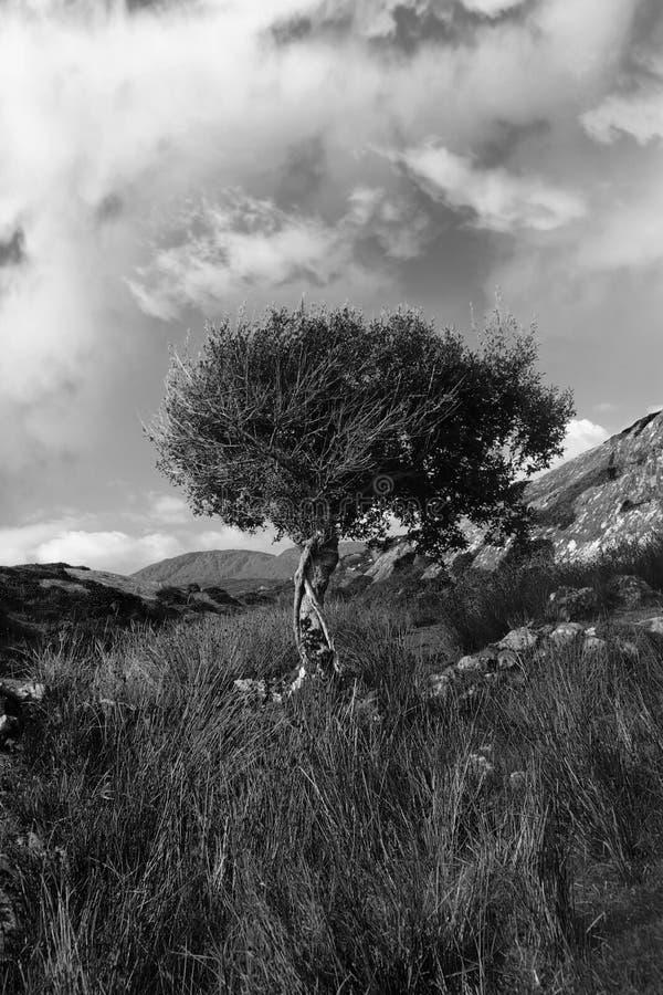 czerń biel odosobniony halny silny drzewny fotografia stock
