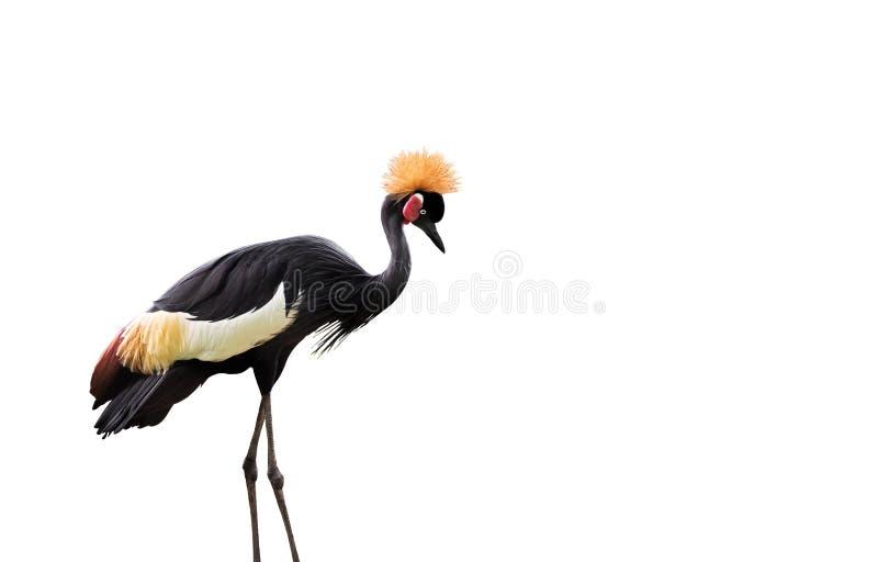 Czerń koronowany żuraw na Białym tle obraz stock