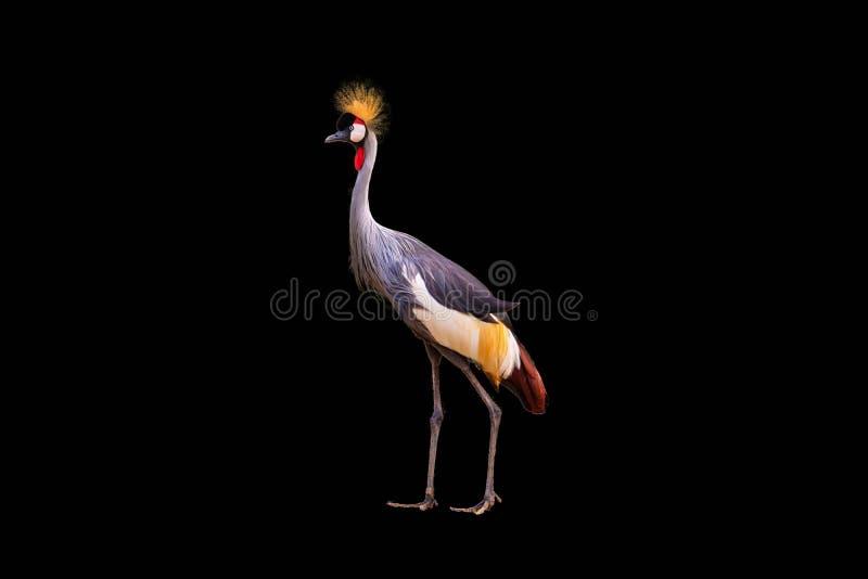 Czerń Koronowany żuraw odizolowywający obraz royalty free
