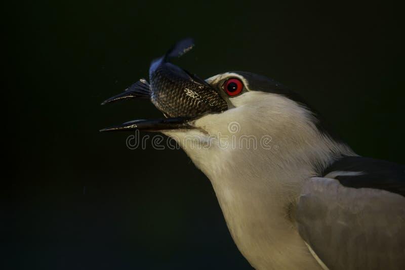 czerń koronowany czapli noc nycticorax fotografia royalty free