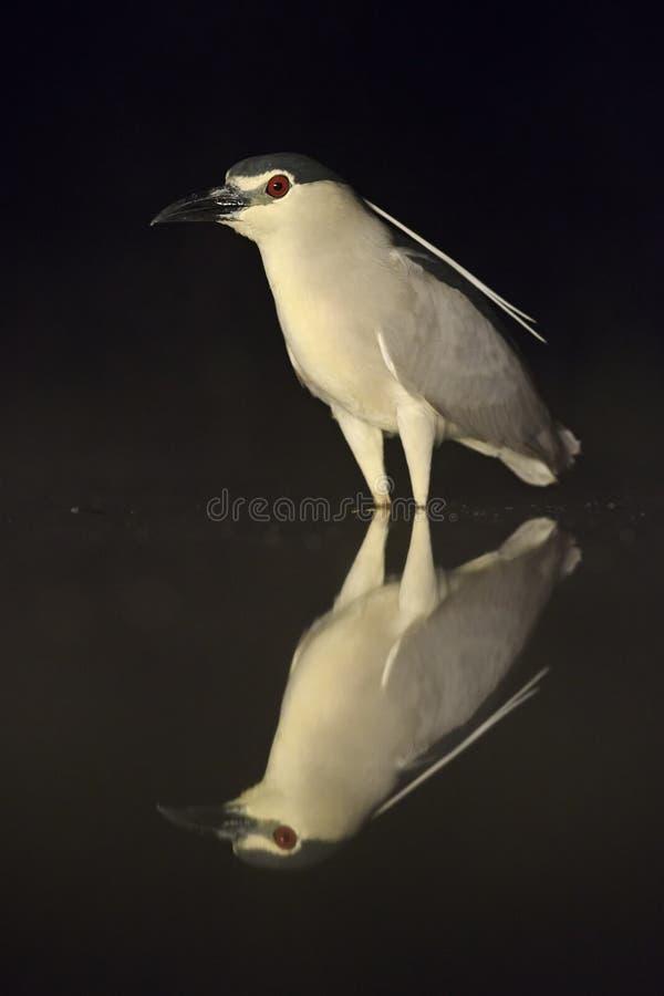 czerń koronowany czapli noc nycticorax zdjęcie stock