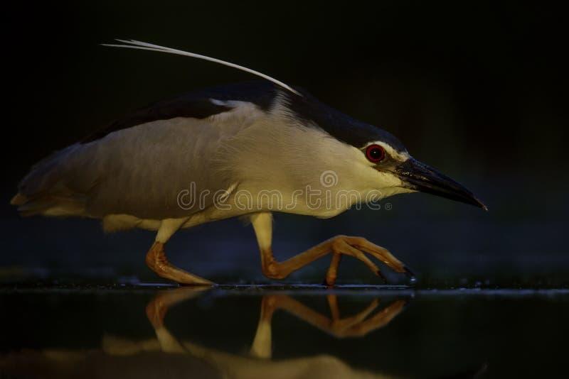 czerń koronowany czapli noc nycticorax zdjęcia stock